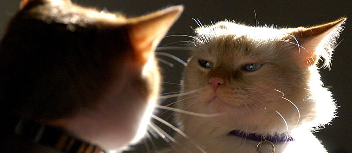 cat fights are scary the sweetest cat can turn into a hissing demon at seemingly little provocation learn what causes a cat fight and how to defuse the