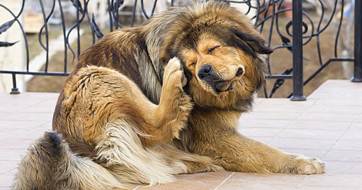 My Dog Has Fleas: What To Do If Your Dog Brings Fleas Home