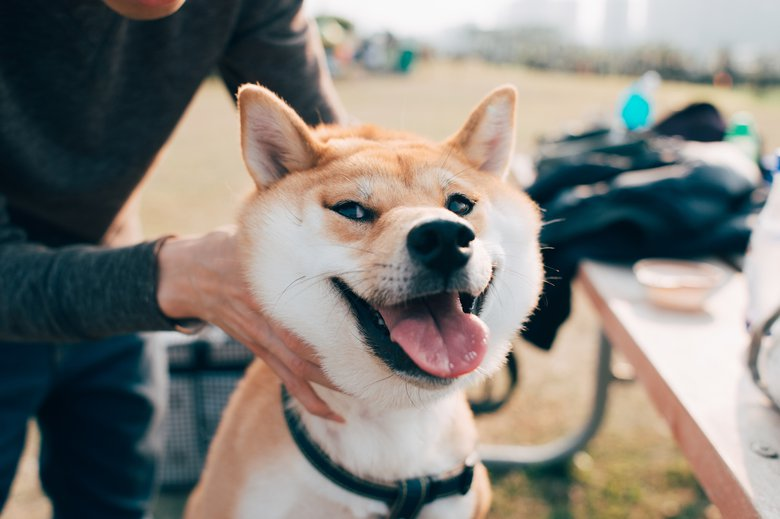 Originating from Japan and considered to be one of the oldest breeds in the world, the shiba inu was bred to be a hunting dog.