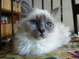 10 Fluffy Cat Breeds You Ll Never Want To Let Go Of Care Com