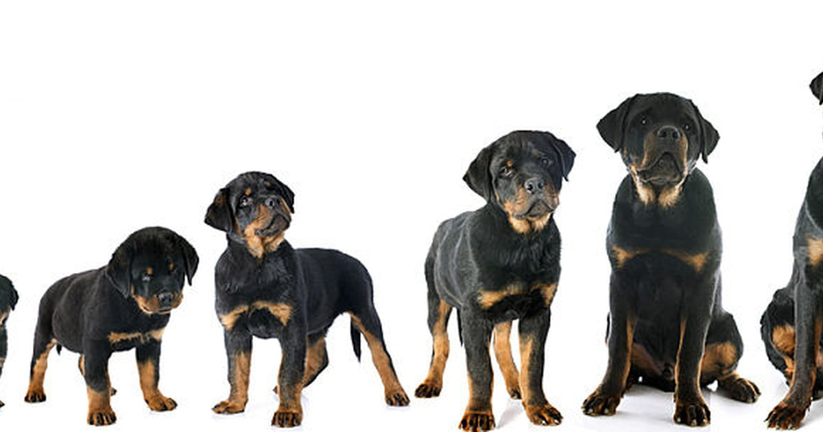 Use A Puppy Growth Chart To Determine Size Care