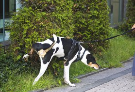 Blood in dog urine: What you need to know and do