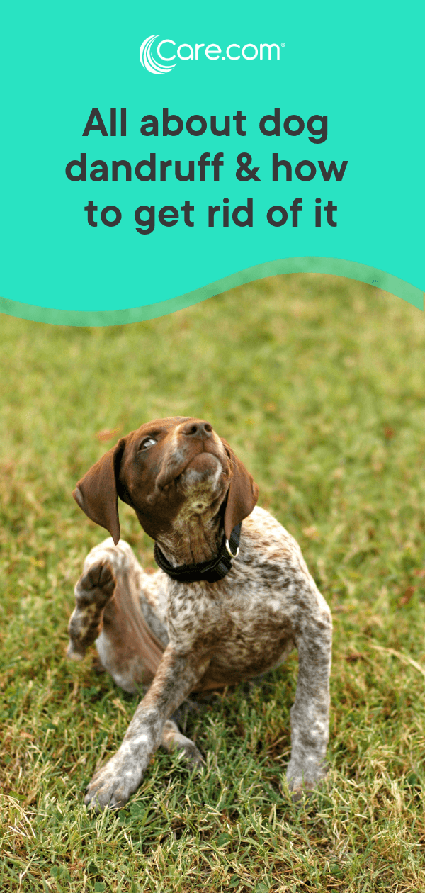 Dog Dandruff: Causes, Symptoms And How To Get Rid Of It - Care com