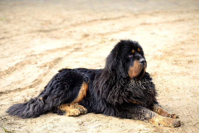 Expensive Dog Breeds: What To Know About Them And Their