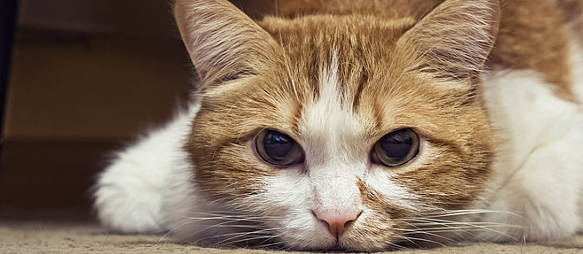 Lymphoma In Cats: Everything You Need To Know - Care com