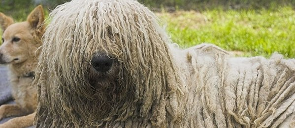 Fine Long Curly Haired Dog Curly Hair Hairstyle Inspiration Daily Dogsangcom