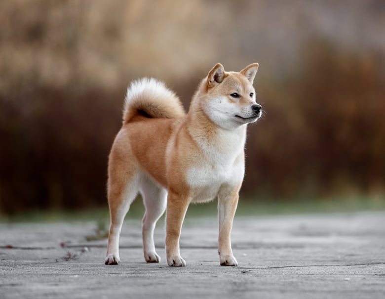 9 Popular Japanese Dog Breeds To Choose From - Care com