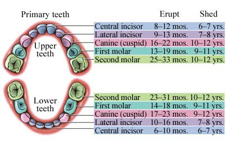 Baby Teeth Chart  CareCom