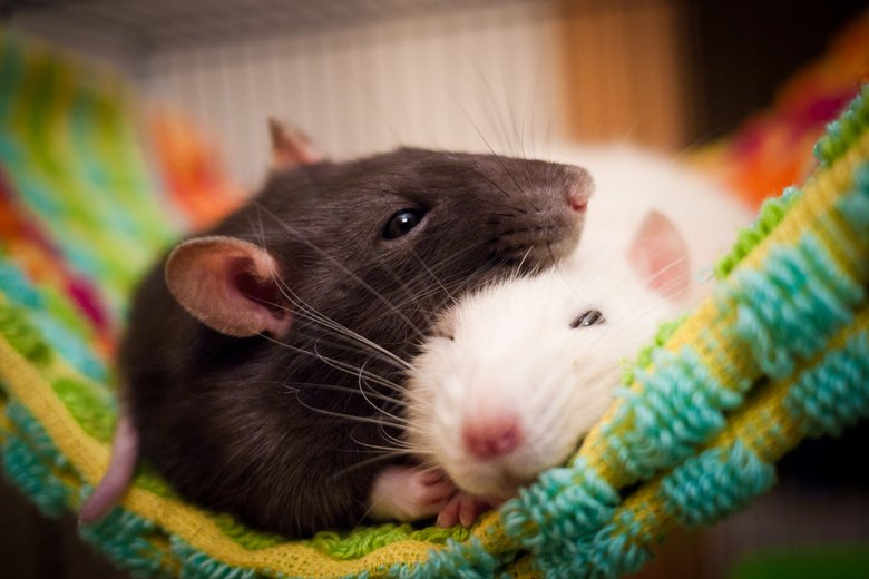 Pet rats: A guide to the surprisingly smart & affectionate rodent