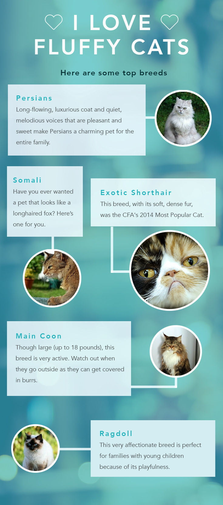 Top 10 Fluffy Cat Breeds Care Com