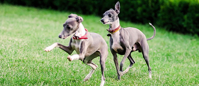 Over The Last Few Centuries Certain Types Of Dogs Have Been Bred For Hunting And Racing Purposes But Many These Speedy Breeds Make Great Pets As Well