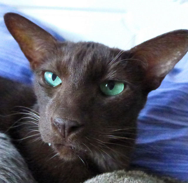 10 Short Haired Cat Breeds Care Com