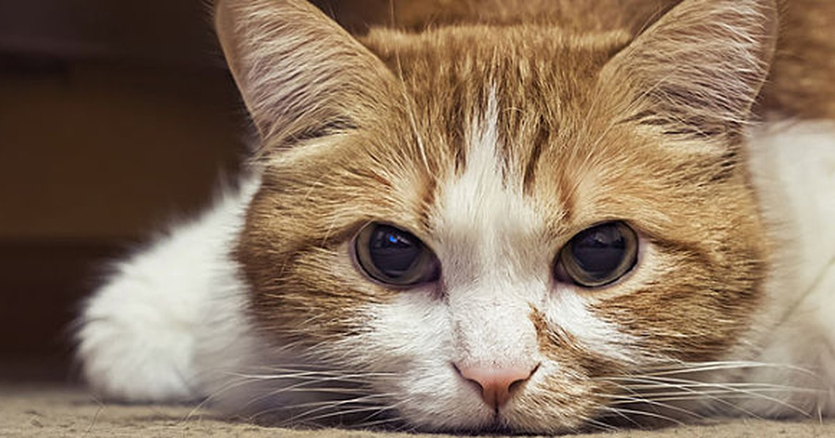lymphoma in cats  everything you need to know