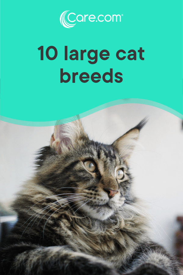 10 Large Cat Breeds: All The Basics About Big House Cats