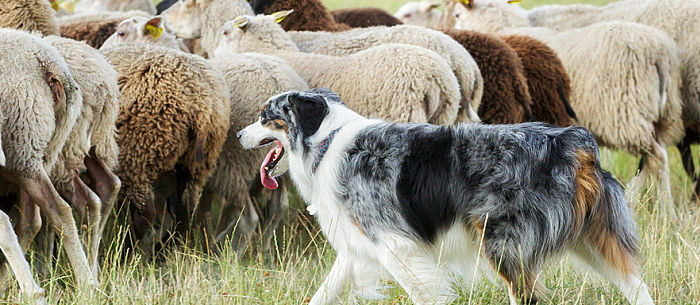 Good Guard Dogs For Farms