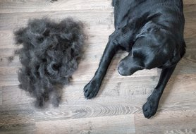 Dog losing hair? Here are potential causes — and how to treat it