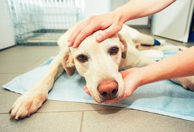 Neurological disorders in dogs: signs, diagnosis and treatments