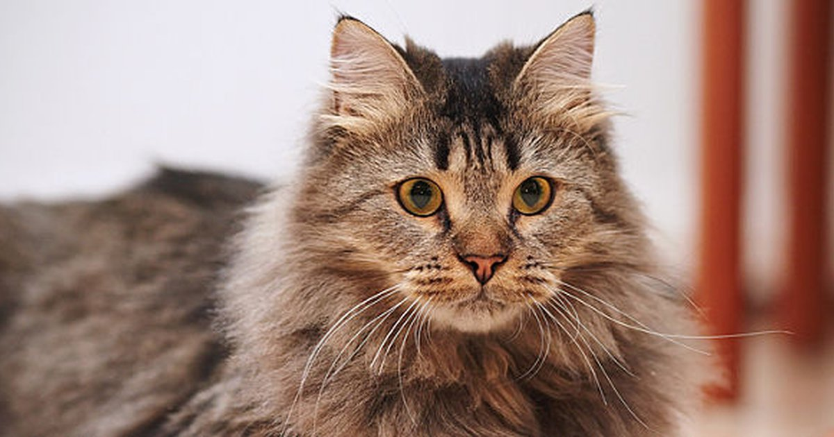 10 fluffy cat breeds you u0026 39 ll never want to let go of