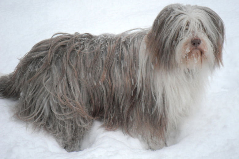 Lovable Long Haired Dogs Care