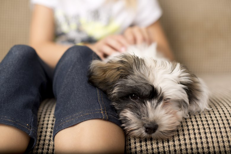 Their small size, adaptable nature and social skills make the Havanese an ideal city dog, according to the American Kennel Club.