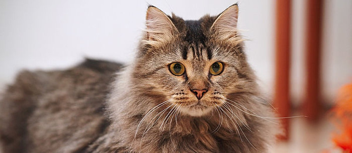 10 Fluffy Cat Breeds You'll Never Want To Let Go Of - Care com