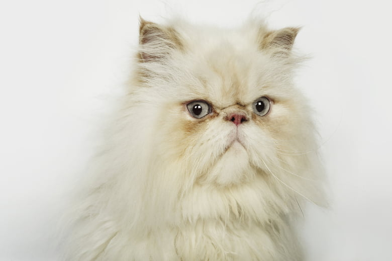 10 Short Haired Cat Breeds
