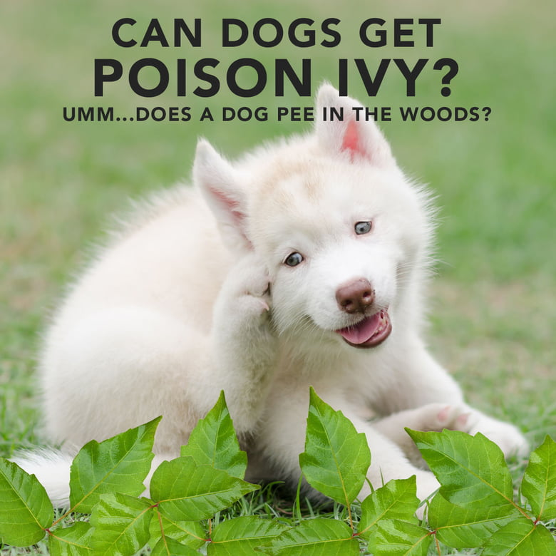 Can Dogs Get Poison Ivy Care