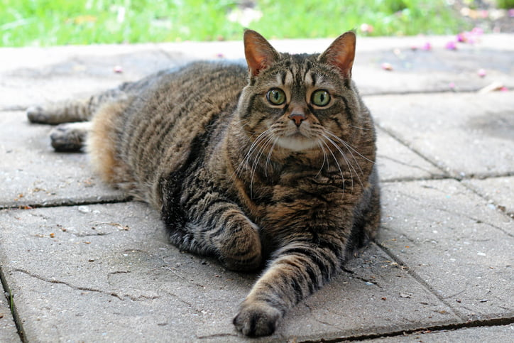 10 Large Cat Breeds The Next Best Thing To Owning A Tiger Care Com