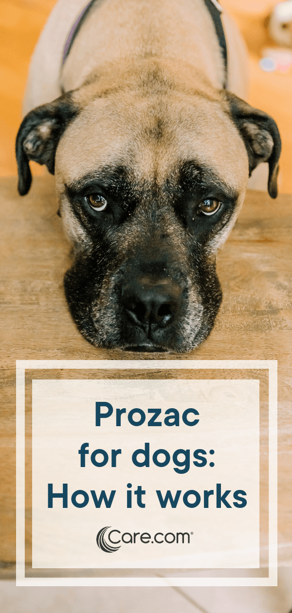 Prozac For Dogs: The Pros, Cons, Side Effects And More - Care com