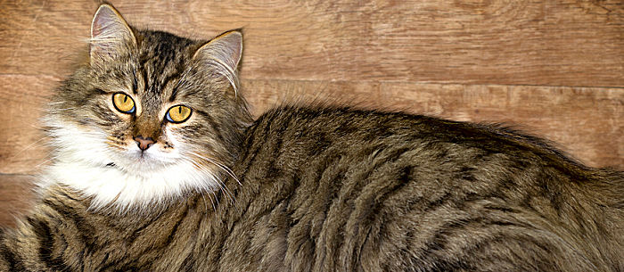 Wildest Breeds Of Cat